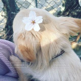 犬,春,桜,動物,チワワ,ロングコートチワワ,dog,お散歩,Chihuahua,お散歩日和,桜の花弁,桜と僕と君と,毎年一緒に見たいね,春だね