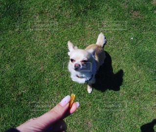 犬,春,動物,チワワ,おやつ,dog,ドッグラン,Chihuahua,ドッグラン日和
