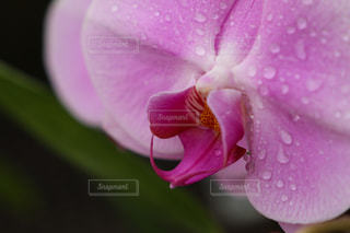 花,植物,水,紫,水滴,水玉,雫,植物園,しずく,滴,ラン,蘭,クローズアップ,水やり,マクロ,霧吹き