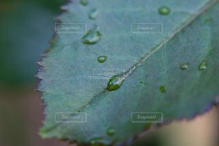 雨上がりのバラの葉っぱの写真・画像素材[2213929]