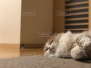 猫,動物,屋内,ねこ,ペット,ベージュ,スコティッシュフォールド,愛猫
