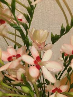 花,水,水滴,ハート,水玉,雫,薄紅色,ヒメオウギ