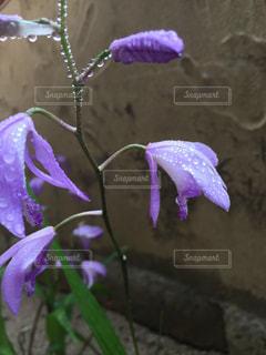 花,雨,植物,水,紫,水滴,水玉,花壇,雫,しずく,紫蘭