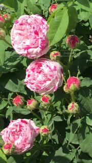花,ピンク,つぼみ,可愛い,花壇,蕾,華やか,マーブル,八重