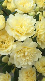 花,黄色,バラ,可愛い,花壇,初夏,モッコウバラ,ファンシー