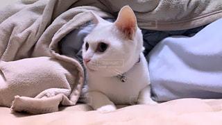 猫,動物,白,かわいい,ペット,布,人物,毛布,ネコ