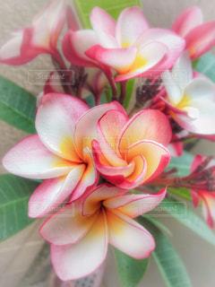 自然,花,屋外,ピンク,緑,植物,水,フラワー,黄色,水滴,雨上がり,flower,イエロー,グリーン,プルメリア,pink,淡い,ハワイの花,plumerias
