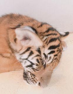 お昼寝中のトラの子どもの写真・画像素材[2121379]