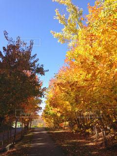 黄金色の散歩道の写真・画像素材[2573704]