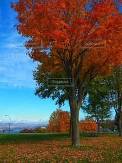 キレイに色付いたメープルリーフの写真・画像素材[2573793]