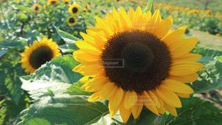 緑の葉の黄色い花の写真・画像素材[2171715]