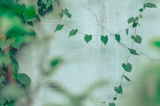 緑の葉のクローズアップの写真・画像素材[2264611]