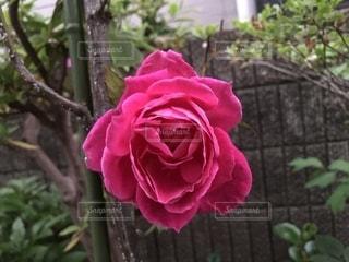 花,屋外,ピンク,バラ,薔薇,樹木,ハート,草木,マーク