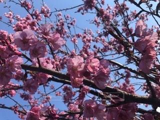 梅の写真・画像素材[2399873]