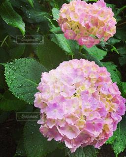 花,雨,水滴,紫陽花,梅雨,雨の日
