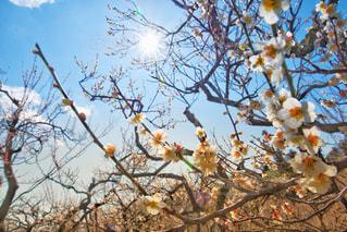 梅の写真・画像素材[3014730]