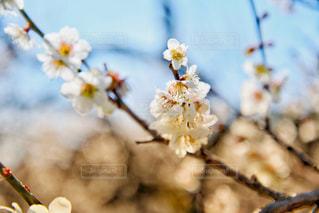 梅の写真・画像素材[3014731]