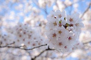 花,春,ピンク,季節,鮮やか,満開,草木,桜の花,さくら,ブルーム