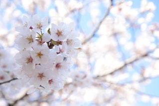 花,春,桜,ピンク,季節,草木,桜の花,さくら,ブルーム,ブロッサム,桜フォト