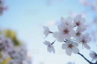 空,花,春,桜,ピンク,季節,満開,草木,ブルーム,ブロッサム