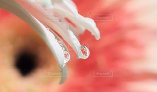 花,植物,水,水滴,水玉,雫,しずく,ガーベラ