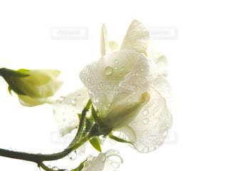 花,水,水滴,白い花,水玉,雫,しずく