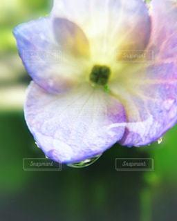 紫陽花と雨の写真・画像素材[2184137]