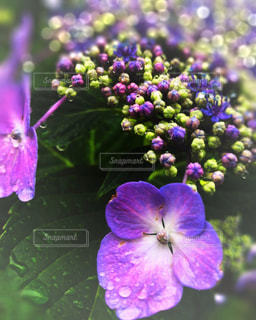 花,雨,水,水滴,紫陽花,しずく,雨の日