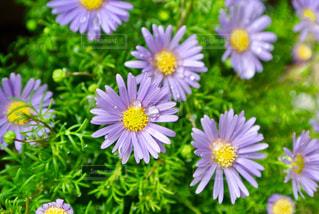 花,水滴,露,5月,しずく,滴,草木,アスター