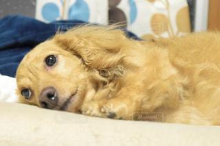 あざとい愛犬の写真・画像素材[2061497]