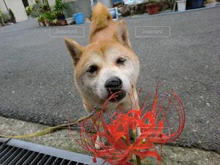犬の写真・画像素材[2150450]