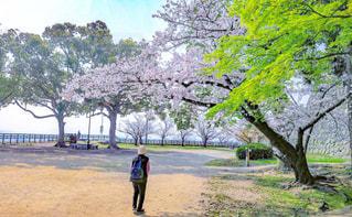 春,桜,後ろ姿,散歩,花見,人物
