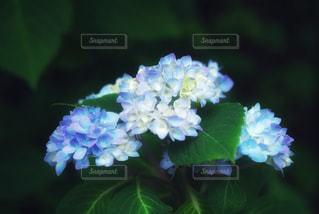 花,季節,紫陽花,梅雨