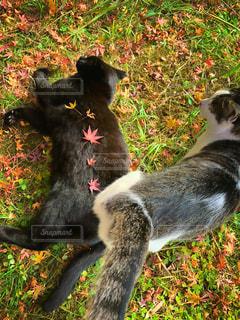 猫,自然,秋,動物,屋外,草原,黒,葉,草,ペット,人物,可愛い,二匹,ネコ,猫の日,222