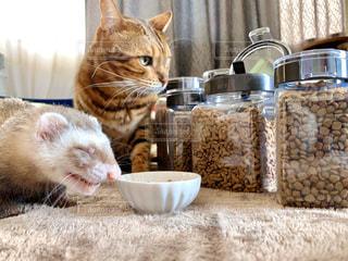 フレッシュロックと猫とフェレットの写真・画像素材[2862583]