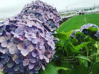花,植物,あじさい,水,水滴,葉,紫陽花,田んぼ,雫,しずく,紫色,むらさき