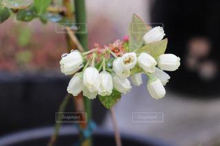 花,ブルーベリー,雫