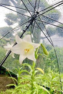 花,雨,傘,白,水,水滴,草花,雫,ゆり,ビニール傘,雨の日,ユリ,カサ