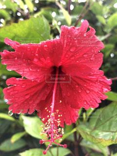 花,雨,緑,ハイビスカス,沖縄,光,水玉,雫,梅雨,草木,潤い,恵みの雨