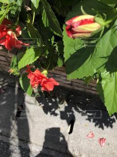 建物,花,赤,晴天,ハイビスカス,散歩,影,日差し,レンガ,花壇,蕾,赤花