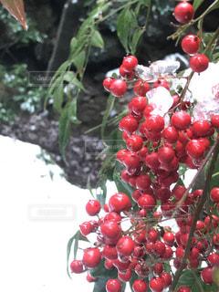 自然,冬,雪,白,水滴,山,氷,樹木,赤い実,溶ける,雪解け