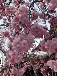 木にピンクの花を詰めた花瓶の写真・画像素材[2141515]