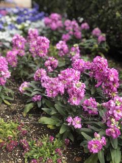 紫色の花のクローズアップの写真・画像素材[2141518]
