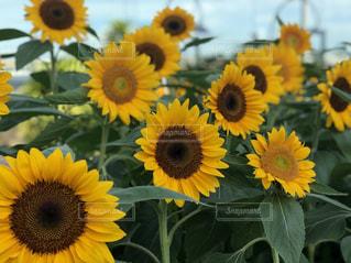黄色い花の接写の写真・画像素材[2141566]
