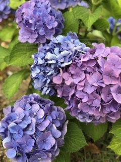 紫陽花の写真・画像素材[2164732]
