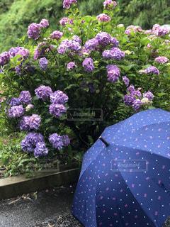 ピンクの傘を持つ紫色の花の写真・画像素材[2217551]