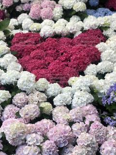 風景,花,屋外,ピンク,白,カラフル,綺麗,景色,鮮やか,ハート,紫陽花,たくさん,インスタ,ガーデン,インスタ映え
