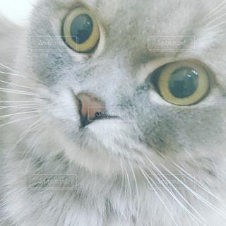 緑色の目をした灰色と白の猫の写真・画像素材[2291554]