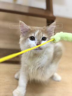 口を開けて白い猫の写真・画像素材[2291589]