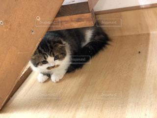 木製の床の上に横たわる猫の写真・画像素材[2291591]